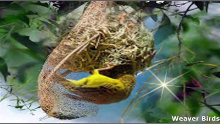 nest weaver birds building nest wildlife in world best Documentary   hey guys here I created of nest weaver birds building nest wildlife in world best Documentary please see it and share with your friends if you live this videos so please subscribe my channel and like in my video. : Enjoy The nest weaver birds building nest wildlife in world best Documentary right now! Meet Kids Songs music and funny videos Collection on our channel every day! Sing Songs for Babies and have a great time…