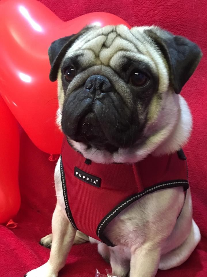 Puppia Trek Step In Jacket Harness Available At Www Ilovepugs Co
