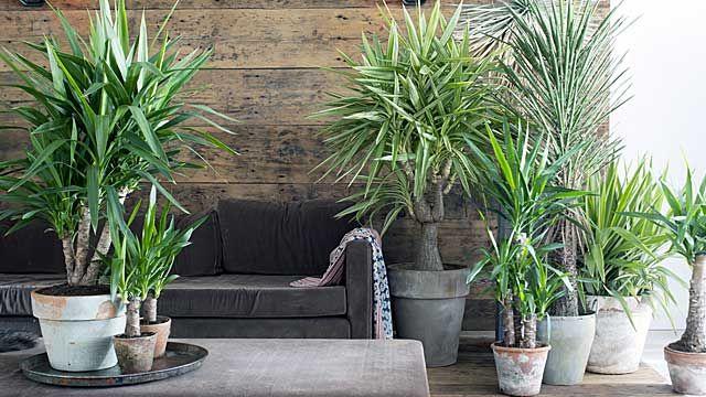 die besten 17 ideen zu yucca palme auf pinterest. Black Bedroom Furniture Sets. Home Design Ideas