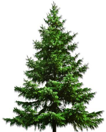 Best 25+ Fraser fir christmas tree ideas on Pinterest | Balsam ...