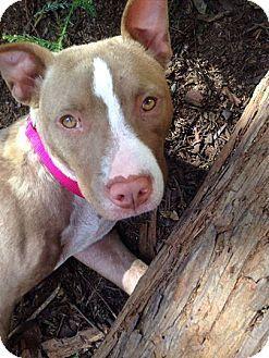 San Jose, CA - American Pit Bull Terrier/American Staffordshire Terrier Mix. Meet Scarlet, a dog for adoption. http://www.adoptapet.com/pet/12635934-san-jose-california-american-pit-bull-terrier-mix