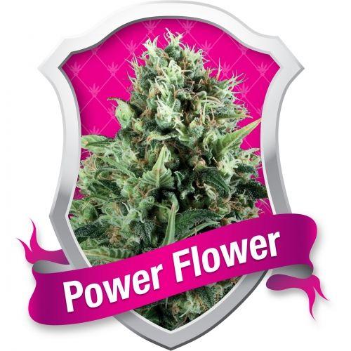 La Power Flower est une souche commerciale très populaire. Facile à faire pousser, rapide et fiable. Cette variété est adaptée à la culture intérieure et extérieure. Une fois planté en culture hydroponique beaucoup de têtes bourrées en THC apparaîtront.