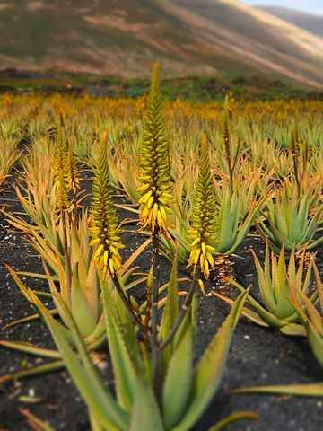 Aloe Vera una farmacia naturale Aloe una pianta dalle mille risorse proviamo a conoscere i tanti utilizzi che possiamo farne  mi aloe salute lanzarote aloe vera