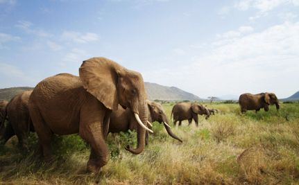 28 Endangered Elephants Killed by Poachers. The poachers used automatic weapons, such as AK-47s, reflecting the violent character of elephant poaching--LEAVING ORPHANED BABIES WITHOUT TUSKS, BEHIND!    Read more: http://www.care2.com/causes/28-endangered-elephants-killed-by-poachers.html#ixzz2NuALo5vk