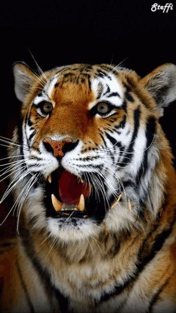 Tigre - Félin - Gif animé - Gratuit                              …