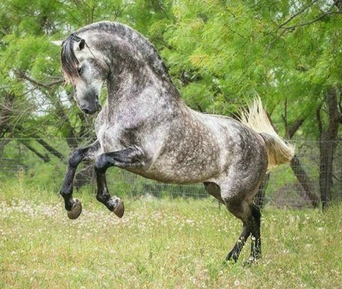 Pura Raza Española, stallion Ilustrado Pro. photo: StunningSteeds.