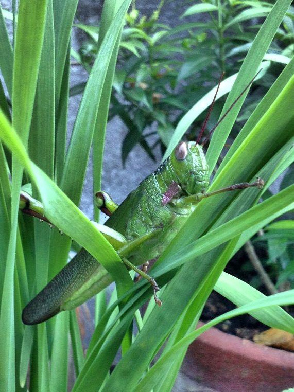 big grasshopper on my chives ! :)