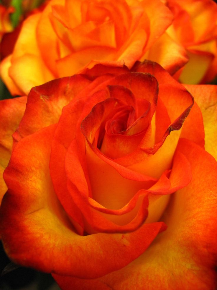 Sunset roses-Look at that bright & vibrant coloring.