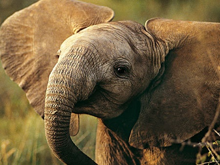 Baby elephant smiling   Animals   Pinterest   Babies, Baby ...