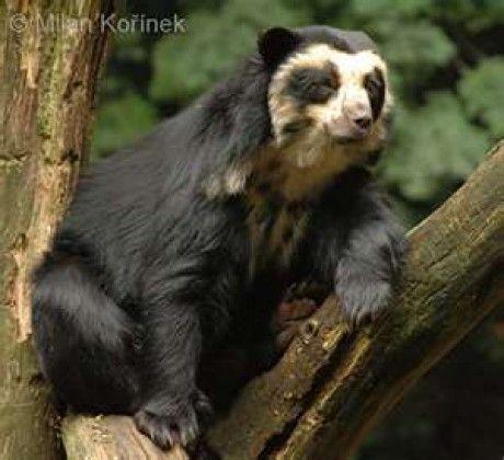 Zvířátka - Fotoalbum - Ohrožené druhy - Medvěd Brýlatý