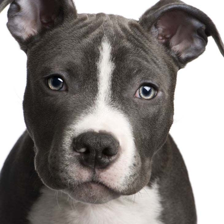 This Pitbull wants what you're eating