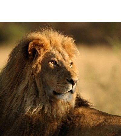 fotobehang koning der dieren