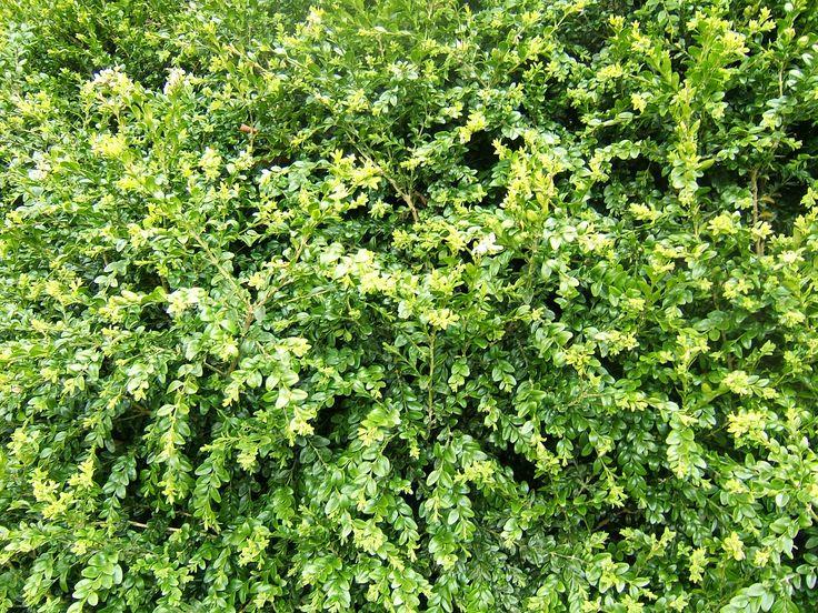 Buxus sempervirens, Arrayan, boj, boxus. Arbusto perennifolio y monoico