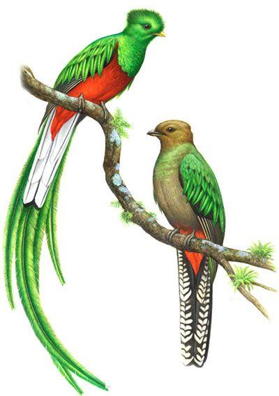 quetzal ave - Buscar con Google