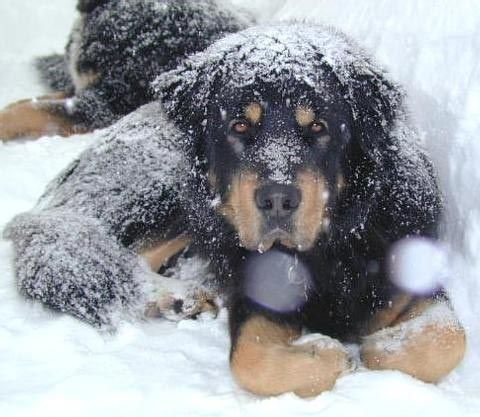 Our darling Tasso, who loved the snow in Canada.  He was the Tibetan Mastiff Calendar Boy for December 2002.