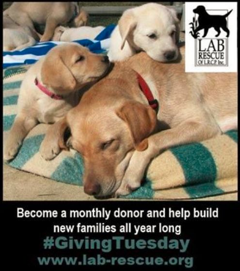 Please SHARE! It's #GivingTuesday and Lab Rescue is asking for your support. Funding is critical to saving 1,000 Labs a year. It's been a great 2014 and we want 2015 to be just as successful.Every dollar makes a difference and this year we're able to offer monthly giving as a budget friendly way to support Lab Rescue year round. Just visit www.lab-rescue.org/givingtuesday to signup. #lab #rescue #charity #giving