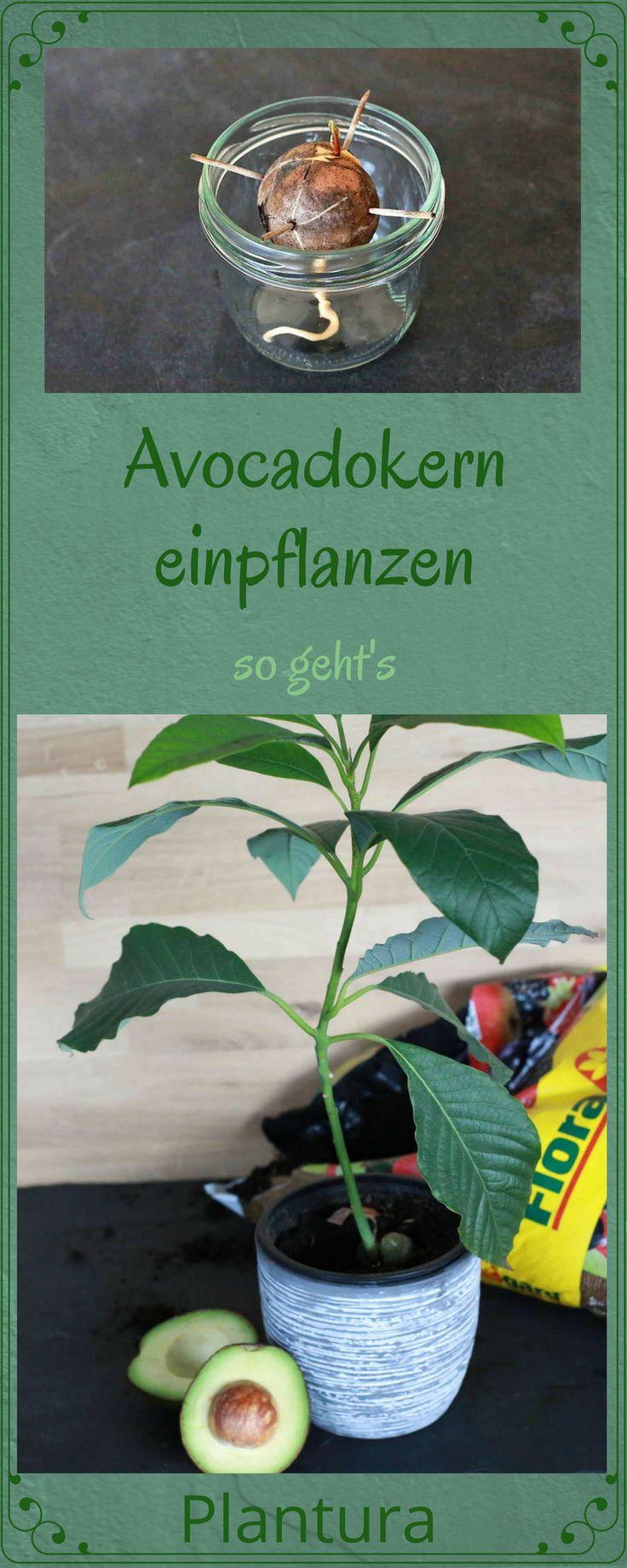 Anleitung: Avocado anpflanzen. Wie man den Avocadokern einpflanzen und so einen wunderschönen Avocadobaum ziehen kann. #Avocado #Avocadokern #anpflanzen