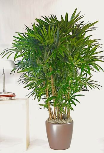 Hawaiian Rhapis Palm Large Potted Indoor Plants Pinterest