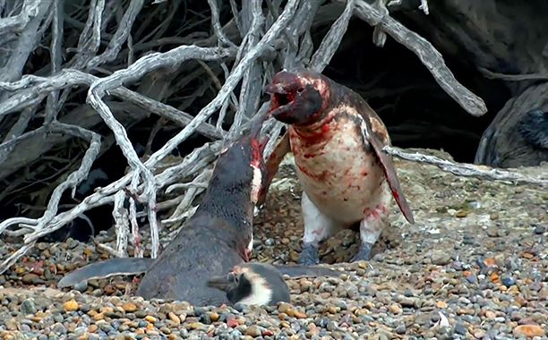 """Batman versus the Joker. Rocky versus Apollo Creed. Freddy versus Jason. Husband penguin versus homewrecking penguin.  National Geographic Wild's """"Homewrecking Penguin"""" video, part of the Animal Fight Night series, features the epic struggle of a husband fighting for his wife's love. The video caught viral attention, prompting the Twitterverse to throw their support behind the various parties involved in the domestic dispute."""