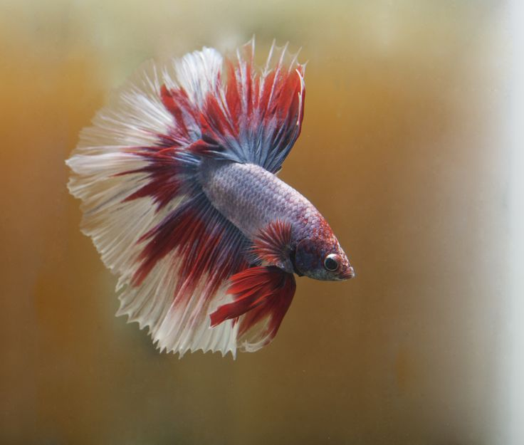 17 images about pictures of betta fish tips on pinterest for Lifespan of a betta fish in captivity