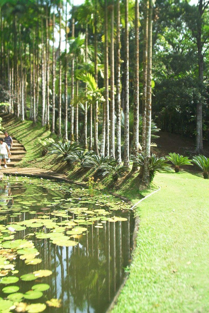 Le jardin de Balata,Martinique. il y a des grands arbres minces avec des feuilles gren . la mousse est sur beaucoup de troncs d'arbres (ciera pd.2)