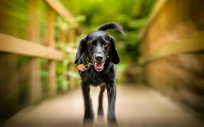 Download wallpapers black labrador, retriever, puppy, dogs, cute animals, pets, labradors