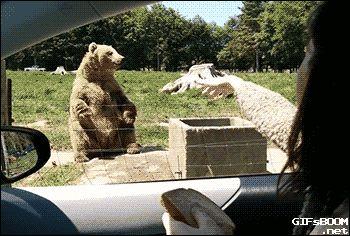 funny gif bear car caught hand Daily Morning Awesomeness (41 Photos)