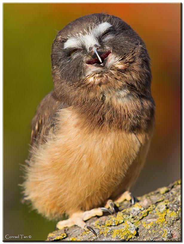 Owl giggles.