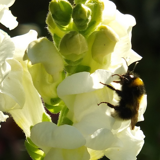 Bumble bee on snapdragon_0001.jpg, via Flickr.