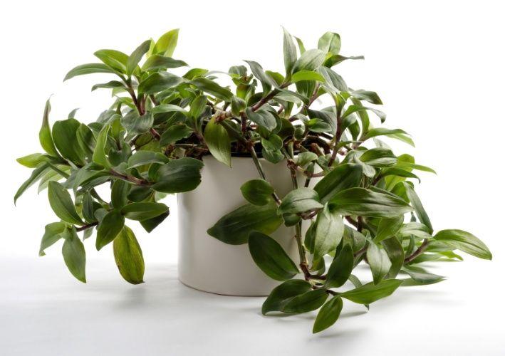 Dinheiro em penca (Callisia repens): esta planta muito ramificada cresce até mesmo em pequenos canteiros junto às calçadas. Quando plantadas a pleno sol, suas folhas tornam-se avermelhadas.  Fotografia: Getty Images.