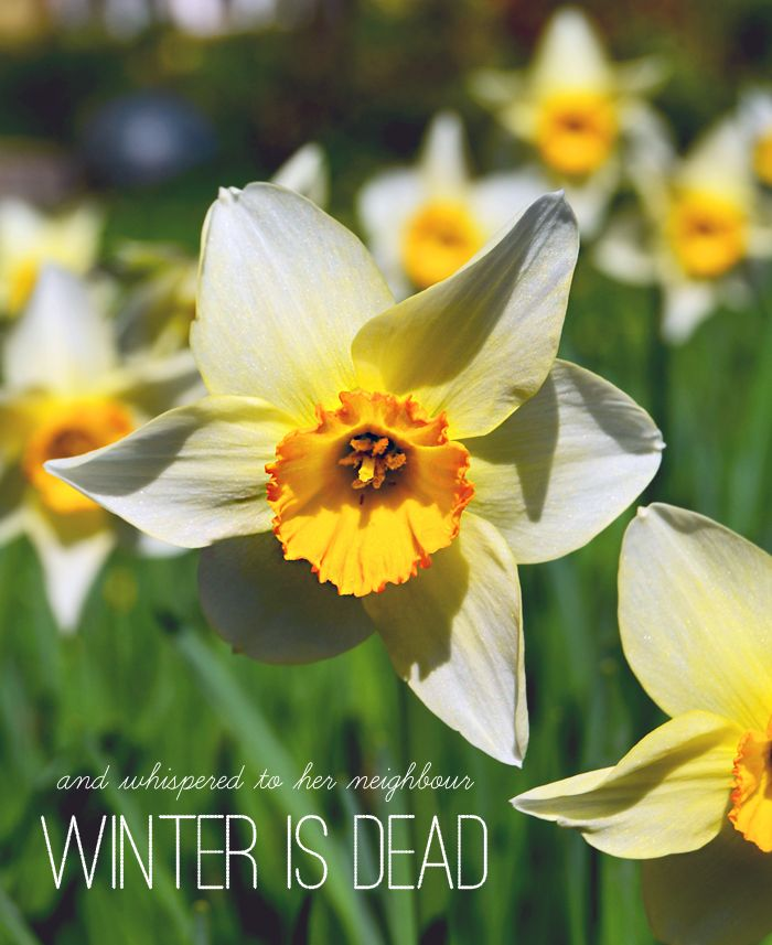 Spring Flower Poems Quotes: Poem Daffodowndilly By A.A