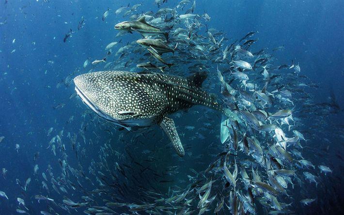 Hämta bilder valhajen, havet, fisk, hajar, underwater world