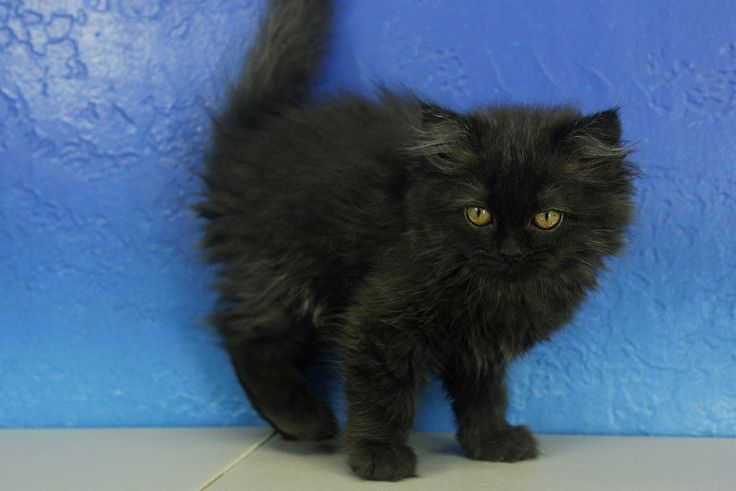 Ragamuffin Kittens For Sale - Buy Ragamuffin Kittens
