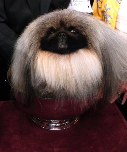 """Congrats to Malachy, a four-year-old stub-faced Pekingese, who was named Best in Show at the 136th annual Westminster Kennel Club Dog Show on Feb. 14.  You are now looking at """"America's Dog."""""""