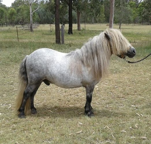 Koorootang Commodore   Show horses   Horse for sale in QLD   Australia   Horse Deals