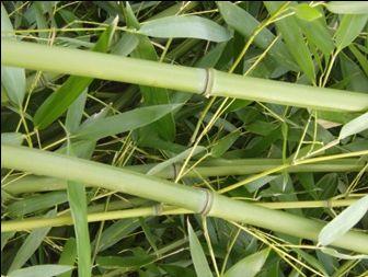 Phyllostachys bissetii stébla