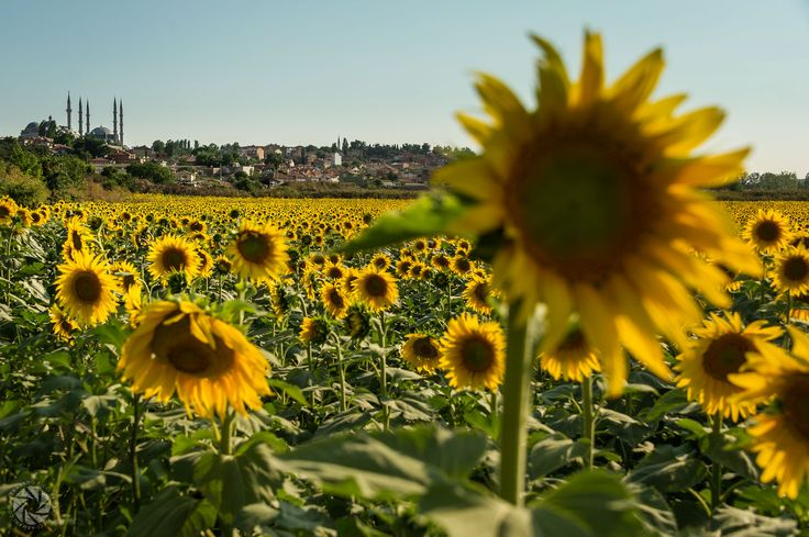 The Selimiye Mosque (From a Sunflower Field)