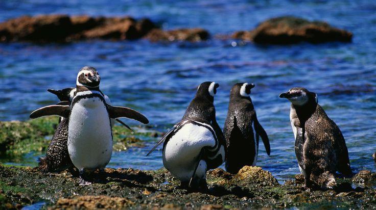 El cambio del clima es malo para los pingüinos.