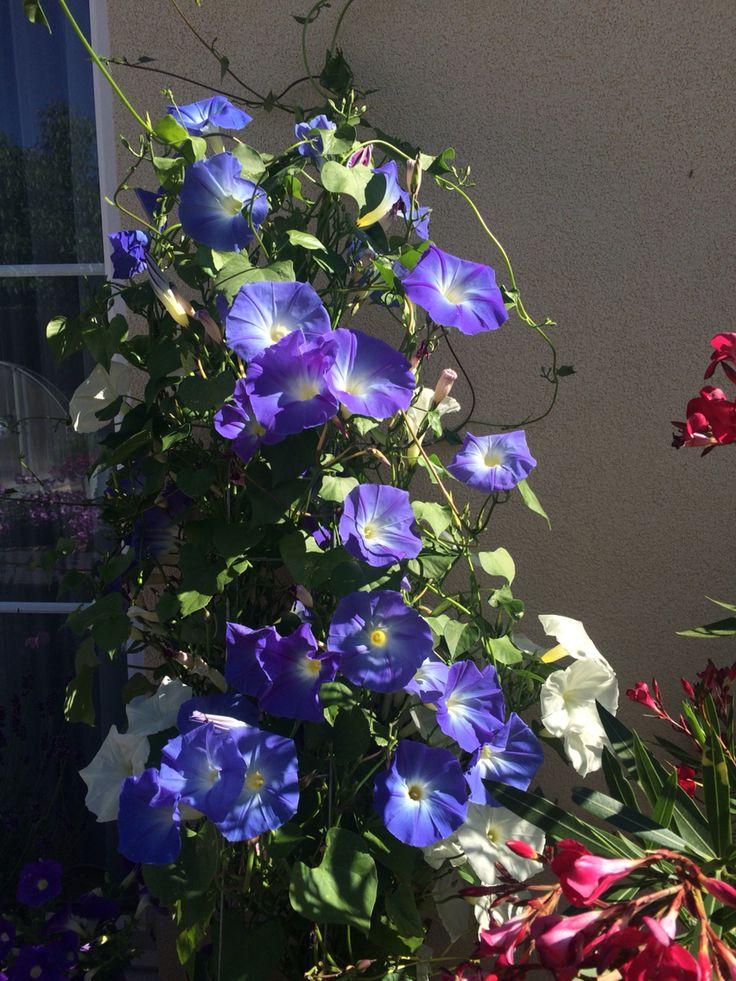 Blue in garden