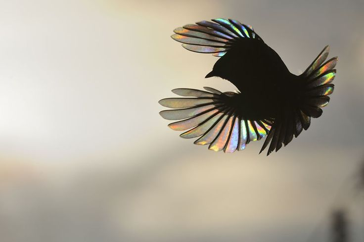 The bird's wing acts as a diffraction grating - a surface structure with a repeating pattern of ridges or slits. The structure causes the incoming light rays to spread out, bend and split into spectral colours, producing this shimmering rainbow effect.