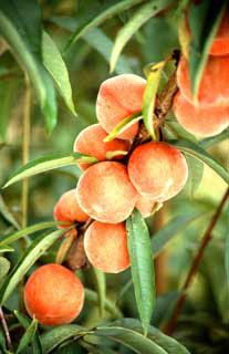 The Flameprince peach tree produces a large, late-season freestone fruit with sweet-tangy 'Southern peach' flavor. Disease-resistant to bacterial spot.