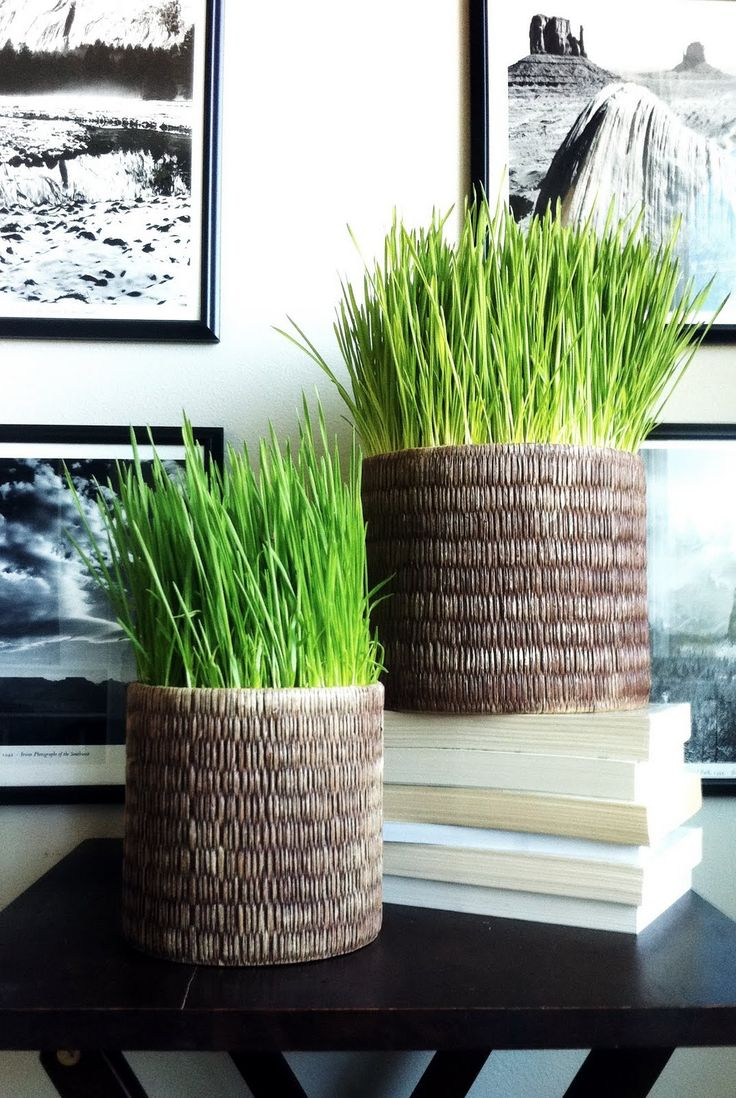 How to plant wheat grass.  I love the simple and crisp look of these tall beautiful blades.  :)