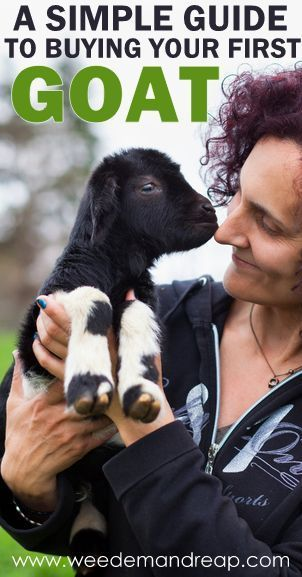 A Simple Guide to Buying your First Goat - Weed'em & Reap  The fact that this exists makes me want to buy a goat
