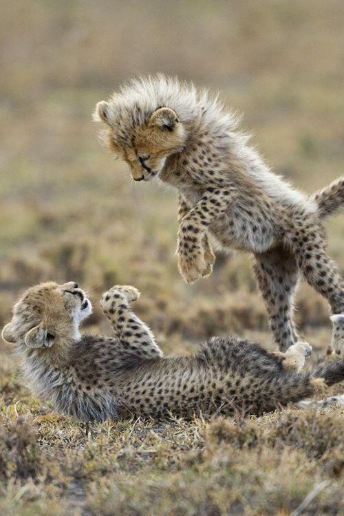 Playful Cheetah Cubs | Cute Animals | Pinterest