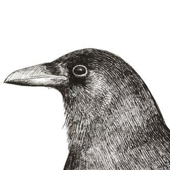 Crow Pen & Ink by Ben Farnell  http://ift.tt/2AgNjvo  http://ift.tt/2zBtein  #birdartben #penandink #crow #etsy #birds #birdart