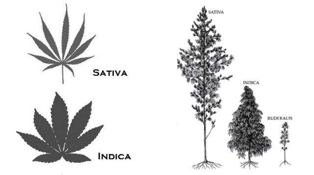 Cannabis Indica vs. Cannabis Sativa - Growroom