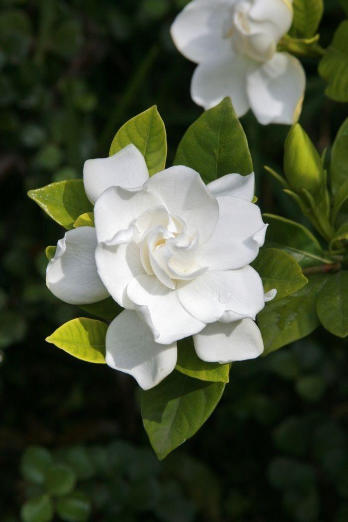 Bush Gardenia Australische Buschbluten Essenz Australian Bush Flower Essence