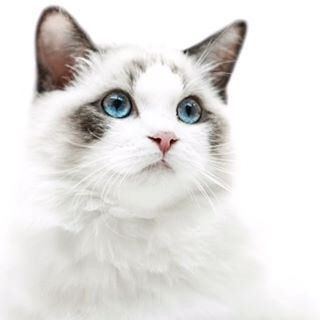 What is this handsome cat breed? Who knows ? • Какой породы этот красавчик ? Кто знает ? #cat #cats #pussycat #breed #exhibition #catexhibition #white #animals #кошка #кот #кошечка #дивотные #домашнийкот #pet #pets #красавчик #home #homecat  #persian #por