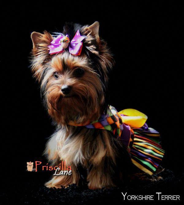 Yorkshire Terrier Pup Yorkshireterrierz Yorkshireterrierswag Yorkshireterrierpuppy Yorkshire Terrier Yorkshire Terrier Puppies Terrier