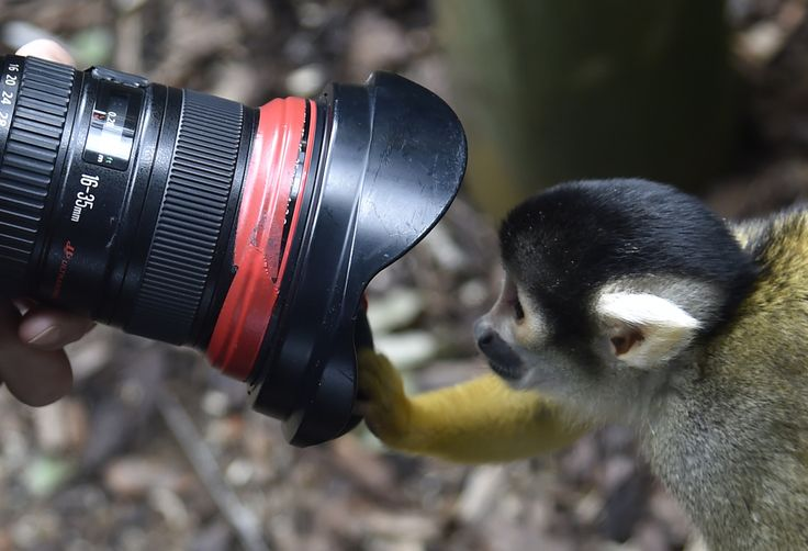 Seekor monyet melongok ke arah lensa seorang juru foto di kebun binatang London, Inggris.